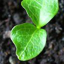 Tender new plant